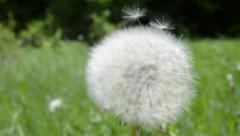Swinging White Blowball On Green Background Stock Footage