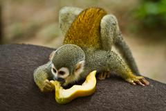 Squirrel monkey in amazon rainforest, Yasuni National Park, Ecuador - stock photo
