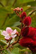 Annato, lipstick tree in the amazon rainforest, Yasuni National Park, Ecuador Stock Photos