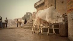 Varanasi, India, indian people and free sacred cows - stock footage