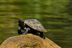 Close up shot of turtles in amazon rainforest, Yasuni National Park, Ecuador - stock photo