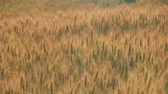Romanian grain fields - CU - stock footage