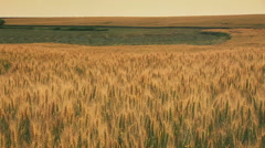 Romanian grain fields 2 - stock footage