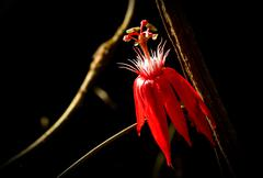 Close up shot of red flower from amazon rainforest, Ecuador - stock photo