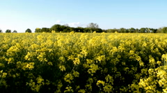 Walking Sideways Through Rapeseed Field 2 of 3 Stock Footage