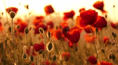beautiful red poppies in the field, sunset, 4k 9 - stock footage