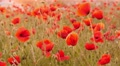 beautiful red poppies in the field, 4k 1 Footage