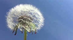 Dandelion seeds being blown in the wind in the blue sky. Stock Footage