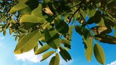 4K Blue Sky, Nut-tree Leaves, Sunshine Stock Footage