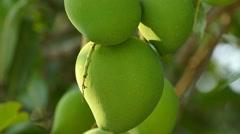 Thailand, Asia, Mangoes on the Tree, Plantation Stock Footage