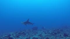 Hammerhead Shark swimming slowly Stock Footage