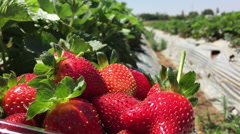 Static shot of Strawberries in plastic container Stock Footage