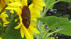 Sunflowers and Bumble Bee 4 Stock Footage