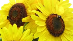 Bumble Bees in Sunflowers 1 Stock Footage