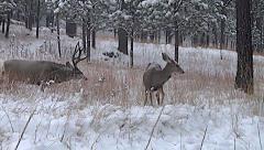 Mature Mule Deer Buck Grunting as He Follows Doe in Heat  with Audio Stock Footage