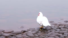 Muscovy duck at waters edge contemplating meaning of life Stock Footage