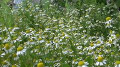 Chamomile flower. Alternative medicine ingredient grow in garden Stock Footage