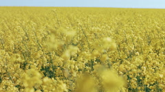 DOLLY MOTION: Rape field, canola crops on blue sky - stock footage