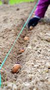Hand planting potatoes - stock photo