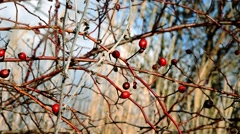 Rosehip in winter Stock Footage