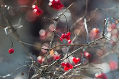 Overriped red berries and fragile twigs of guelder rose (viburnum) - stock photo