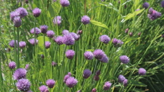 Fresh blooming chives in a herb bed Stock Footage