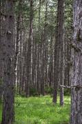 Conifer tree trunks natural background Stock Photos