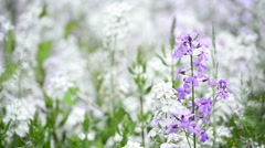 Sweet rocket flowers, Hesperis matronalis Stock Footage
