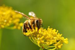 Honeybee harvesting pollen from blooming flowers - stock photo