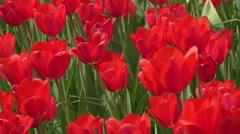 4K tulip garden, UHD stock video Stock Footage
