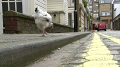 Chicken Crossing The Road Stock Footage