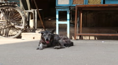 Thirsty dog laying on the street in Varanasi while cars pass by. - stock footage