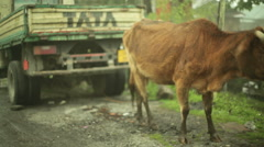 Brown cow with TATA car behind, medium shot, shallow DOF Stock Footage