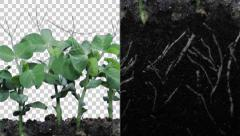 Stock Video Footage of Time-lapse of growing pea vegetables with ALPHA