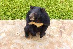 Asian black bear, asiatic black bear - stock photo