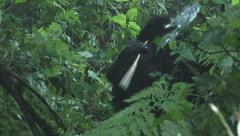 Mountain gorilla from Hirwa group eating bark Stock Footage