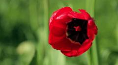 Dew on a flower poppy Stock Footage
