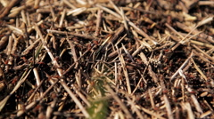 Anthill close-up Stock Footage