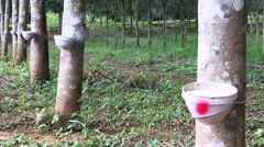 Rubber trees in plantation in Laos in Oudomxay Province Stock Footage