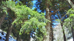 Spring green branches fir paine Stock Footage
