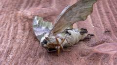 Ants feeding on dead moth closeup Stock Footage
