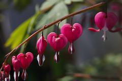 Bright pink heart a flower Stock Photos