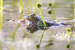 Edible frog (Pelophylax esculentus) - stock photo