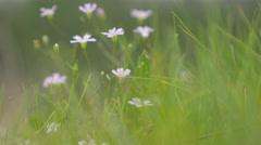 Beautiful purple flowers in the grass hiding 4K 2160p UHD footage - Purple sm Stock Footage