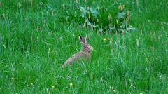 European hare in springtime Stock Footage