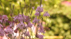 Aquilegia vulgaris or European Columbine in Wind With Bee and Sound Stock Footage
