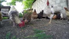 Rooster and hens in old chicken coop - stock footage