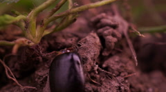 Ants Moving Frame Of a Beetle - stock footage