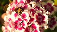 Beetle Revival In The Morning Sun On a Flower Moved By Wind Stock Footage