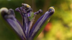 Withered Iris With Cricket on Yellow Background Stock Footage